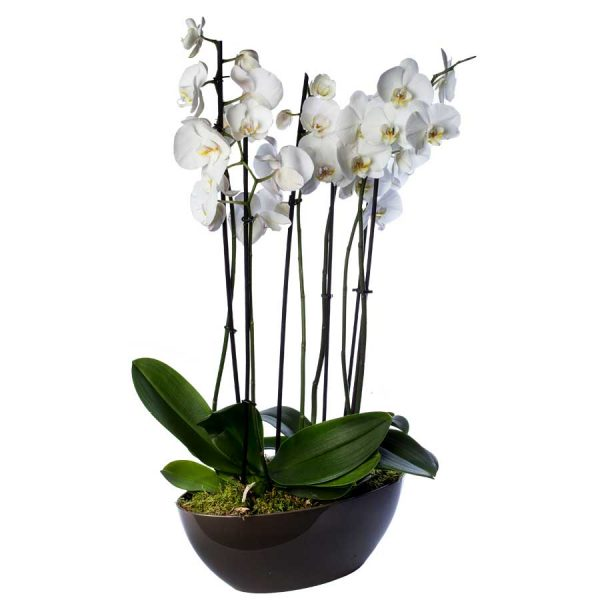 Arreglo de orquídeas blancas en base de cerámica