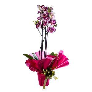 Orquídea morada 2 tallos
