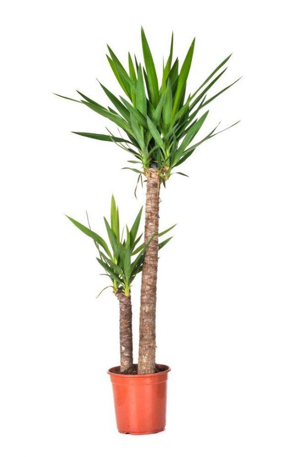 planta-yuca